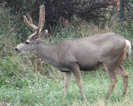 Buck preparing for winter.