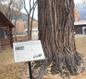 Largest narrow leaf Cottonwood Tree in Colorado stands proudly on Gunnison Avenue in Lake City.